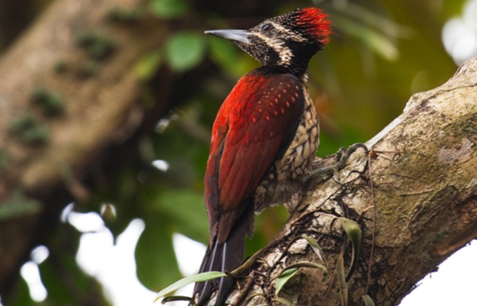 Ceylon Red-backed Woodpecker (Dinopium psarodes) at Bullers Road captured by Dew Wijewardane