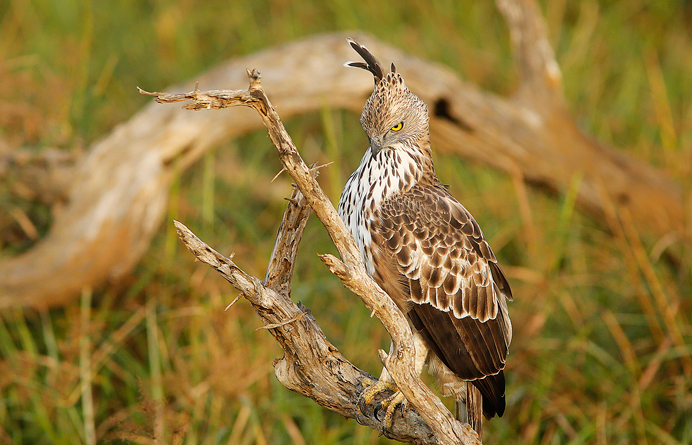 Changeable Hawk Eagle (Spizactus cirrhatus) at Yala National Park captured by Cherly Silva