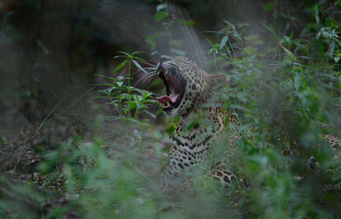 Big Yawn at Willpattuwa National Park captured by Dilshan Hettiarachchi
