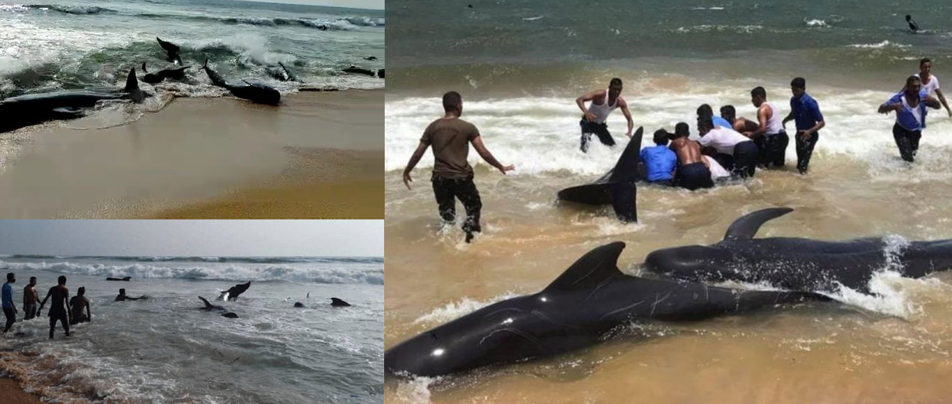 Coming together to save 120 stranded Pilot whales