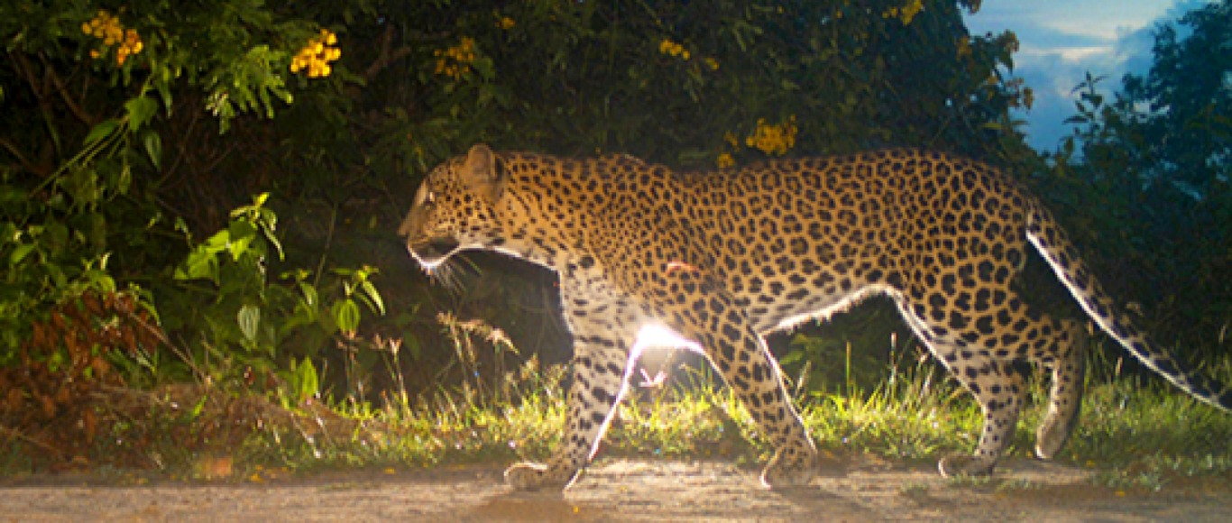 The Leopards of Wilpattu National Park
