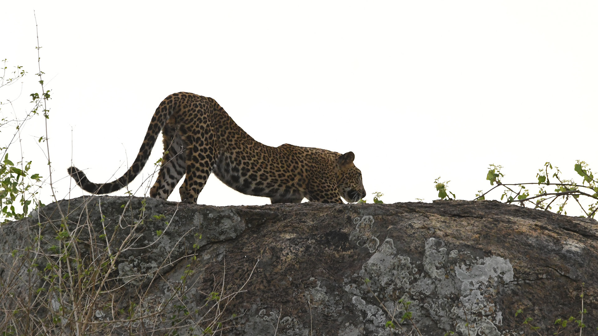 When human-wildlife conflicts involve an iconic species