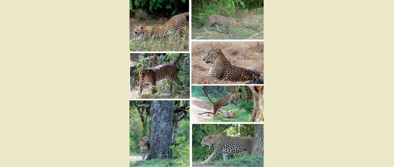 WNPS monthly lecture on 18 January to focus on social life and survival strategies of leopards