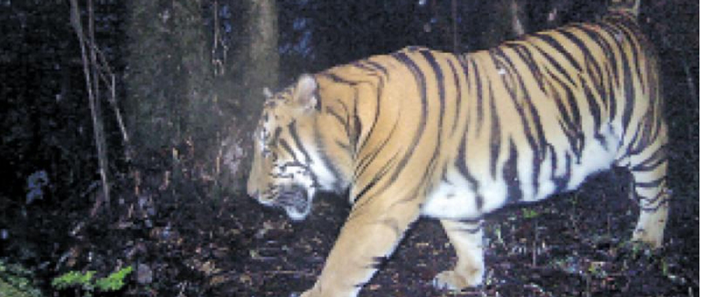 'Tribal tigers' how an indigenous community conserved tigers in Northeast India