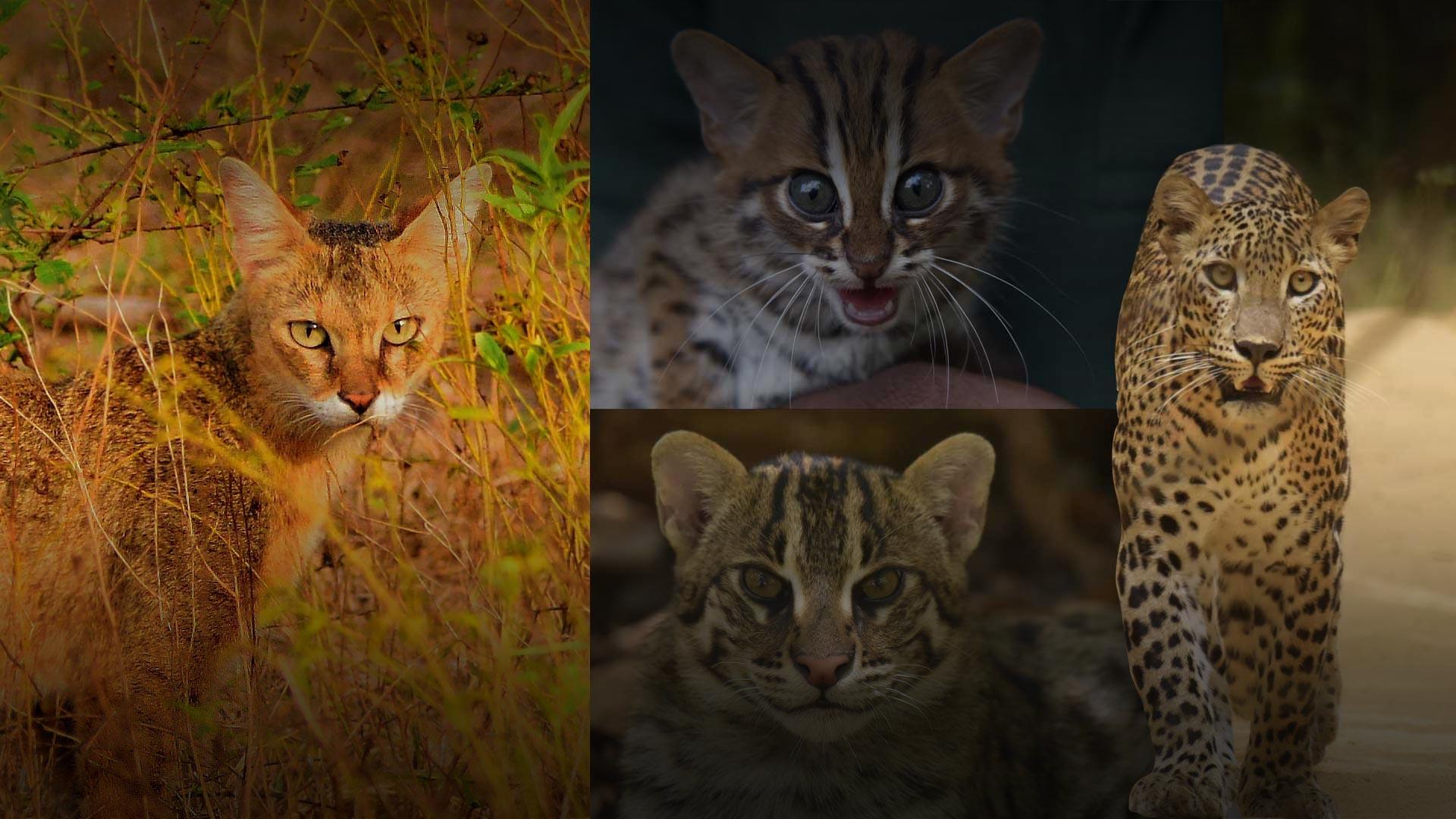 WNPS - Wild Cats